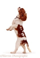 Cavalier King Charles on hind legs