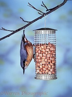 Nuthatch on nut feeder