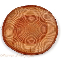 Growth rings in Douglas Fir