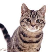 Tabby Shorthair cat