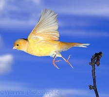 Canary in flight