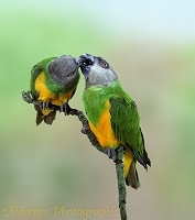 Senegal Parrot pair billing