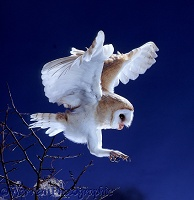 Barn Owl coming in to land
