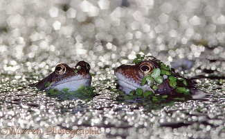 Common Frog croaking