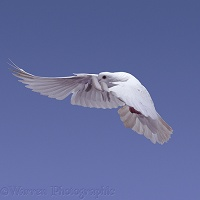 White pigeon in flight series - 4 of 7