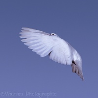 White pigeon in flight series - 5 of 7