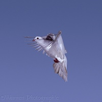 White pigeon in flight series - 6 of 7