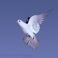White pigeon in flight series - 7 of 7