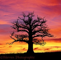 Ockley Oak at sunset
