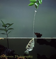 Archer Fish squirting at spider