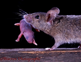 House mouse carrying baby
