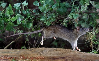 Rat carrying nesting material