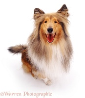 Rough Collie
