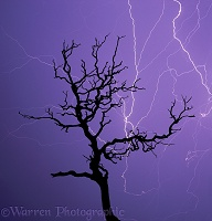 Dead Scots Pine and lightning