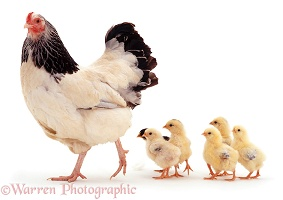 Light Sussex bantam hen and chicks