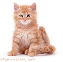 Fluffy ginger kitten