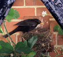 Blackbird at nest