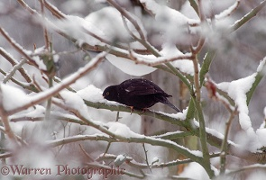 Blackbird eating snow