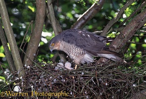 Sparrowhawk female