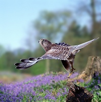 Kestrel female taking off