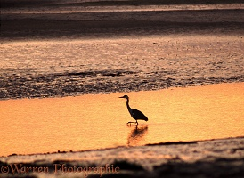 Heron fishing at sunset