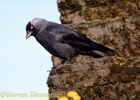 Jackdaw on wall