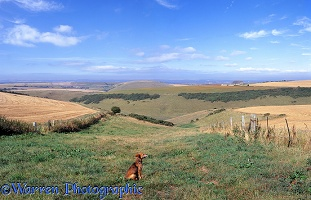 Dog in rural Dorset scenery