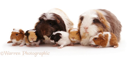 Crested Sheltie Guinea pig family