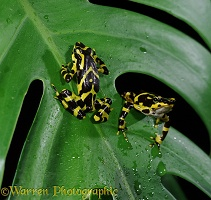 Arrow Poison Frogs