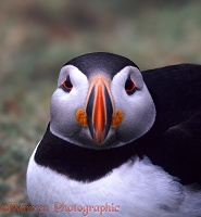 Puffin full-face