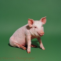 Pink pig sitting on green background