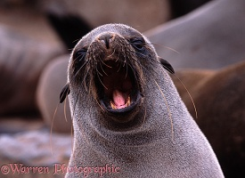 Fur Seal yawning