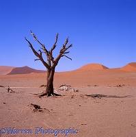 Dead tree in the Namib Desert