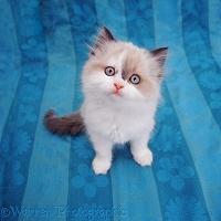 Kitten sitting on blue cloth