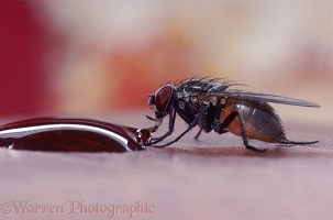 Housefly sucking liquid