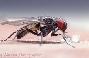 Lesser Housefly feeding on sugar