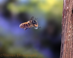 Mason bee carrying mud