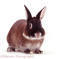 Elderly Marten Sable Rabbit, 9 years old