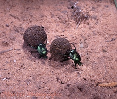 Green dung beetle pair