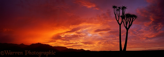 Interesting Quiver Tree at sunrise