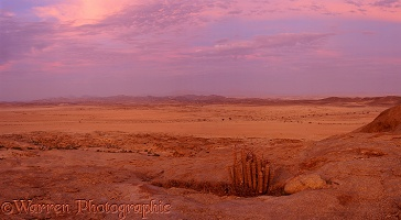 Hoodia and desert scene at sunset