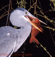 Heron eating goldfish
