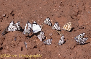 Butterflies at salt lick