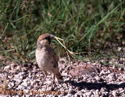 Sociable Weaver with nesting material