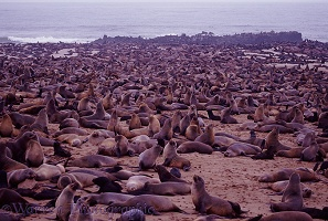 Cape Fur Seal colony