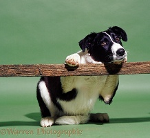 Border Collie leaning on a fence
