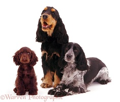 Cocker Spaniel trio