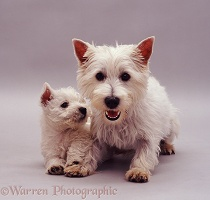 Westie bitch and pup