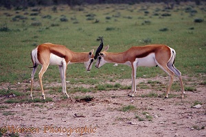 Springbok rams locking horns