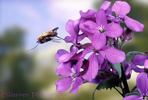 Bee fly with honesty